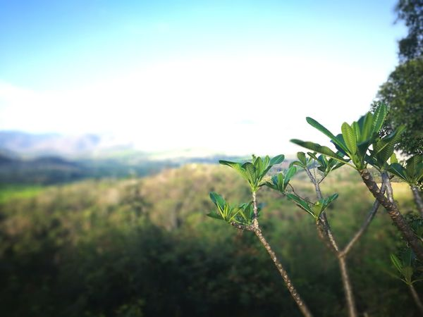 Pinaceae Landscape Mountain Nature Clear Sky Outdoors Tree No People Scenics Beauty In Nature Day Close-up Sky