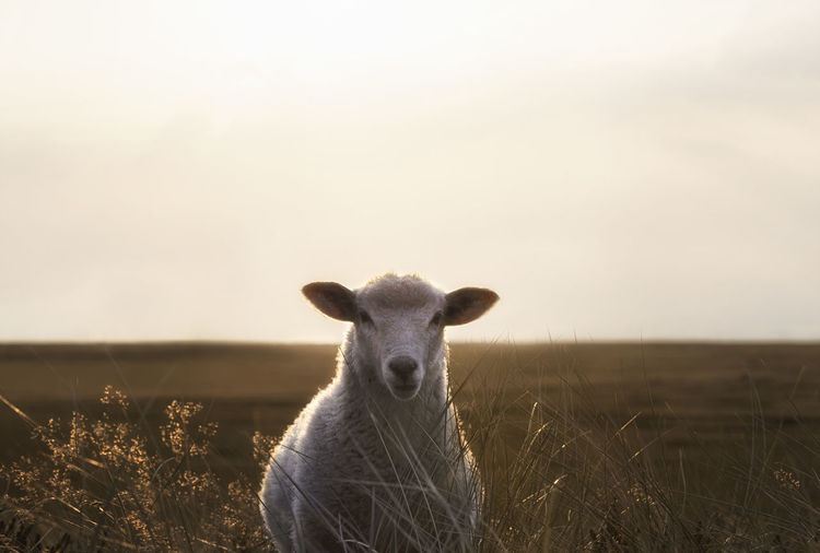 Portrait of sheep on field against sky