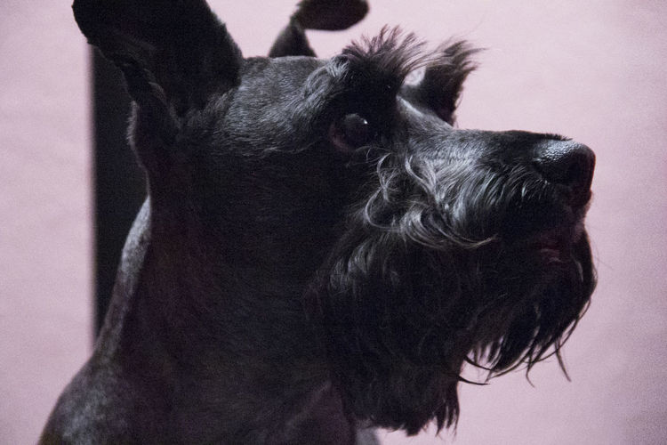 Close-up of miniature schnauzer at home