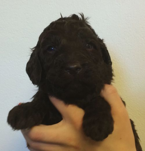 In 5 weeks this little cutie is coming home to us?? Dog Puppy Austrailian Labradoodle