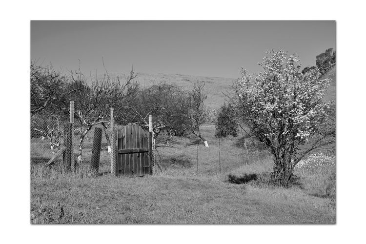 Orchard Gate 1 Garin Regional Park Wooden Gate Orchards Scenic Eastbay Hills Rolling Hills Valleys Landscape_Collection Trees Blooming Tree Painted Tree Trunks Bnw_friday_eyeemchallenge Bnw_gateway Entrance Monochrome_Photography Monochrome Black & White Black & White Photography Black And White Black And White Collection  Fence Fence Posts EntryGate Shadows Wildflowers Nature Beauty In Nature Nature Collection Countryside Grassland