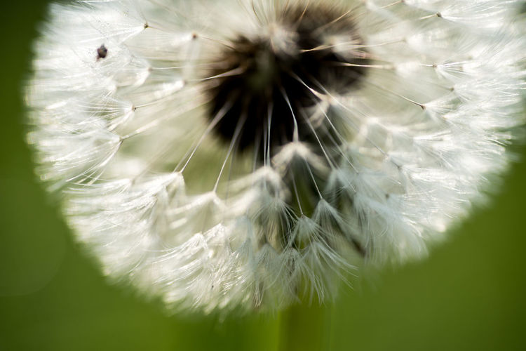 Hayflower detail Fragility Flower Vulnerability  Plant Flowering Plant Dandelion Close-up Growth White Color Freshness Nature Beauty In Nature No People Softness Selective Focus Day Inflorescence Dandelion Seed Flower Head Outdoors Bright