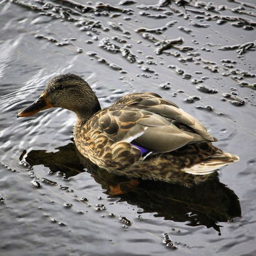 Duck Bird Water Swimming Lake Animal Themes Close-up Mallard Duck Water Bird Swimming Animal Wild Animal Freshwater Bird Duckling