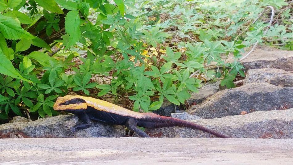 Staring right back at me ! Lizard Nature Yellowandblue Beautiful Creatures