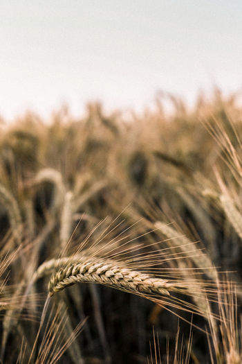Sometimes you don't have to walk far from home to find the most beautiful places. Wanderlust Agriculture Beauty In Nature Cereal Plant Close-up Crop  Ear Of Wheat Explore Farm Field Focus On Foreground Folk Dance Growth Land Landscape Nature No People Outdoor Photography Outdoors Plant Plantation Rural Scene Stalk Tranquility Wheat First Eyeem Photo EyeEmNewHere EyeEmNewHere EyeEmNewHere