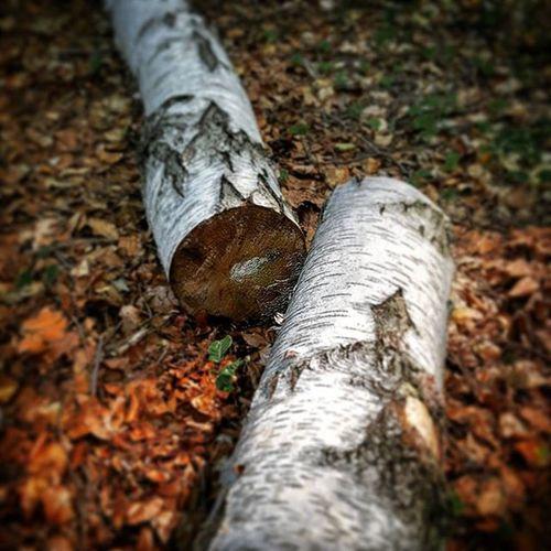 Breza Forest Woods Gmajna gozd gmajnajezakon