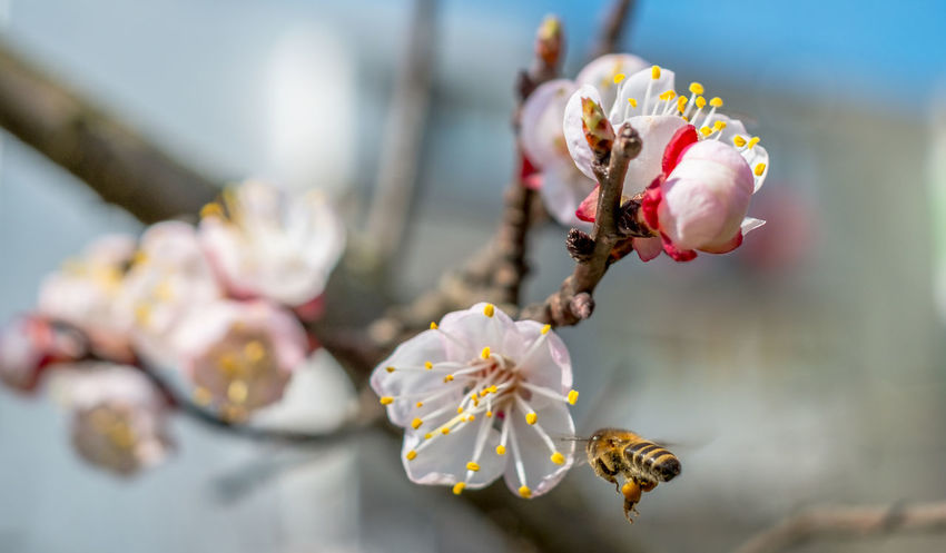 Bee at work on a apricot blossom during spring Apricot Tree Apricot Flowers Spring Has Arrived Beauty In Nature Bee Bee And Flower Bee On The Flower Blooming Blossom Botany Branch Close-up Day Flower Flower Head Focus On Foreground Fragility Freshness Growth Nature No People Outdoors Petal Plum Blossom Pollen Spring Flowers Springtime Stamen Tree