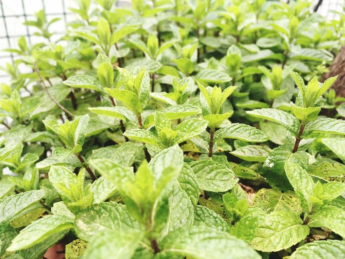 Peppermint Plant Mint Spice Plant Green Color Leaf Food And Drink Herb Agriculture Freshness Field Plant Part