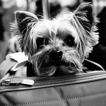 Saw this Cute Puppy on the train the other day. Beautiful Dog SonyA7s Noir Monochrome Portrait Bnw Blackandwhite Photography Uncalculated Portrait Portrait Photography Vscocam Black And White Portrait Noiretblanc Chiaroscuro Gallery