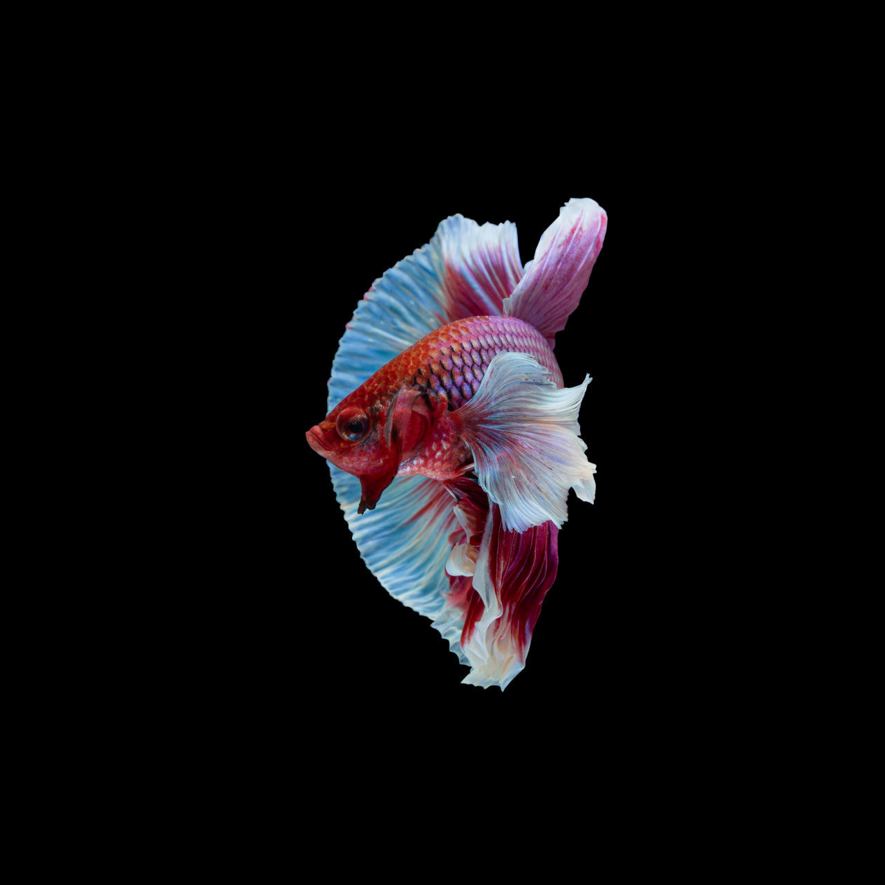 animal, animal themes, studio shot, animal wildlife, animals in the wild, vertebrate, fish, copy space, black background, indoors, beauty in nature, swimming, water, close-up, no people, sea, one animal, underwater, nature, cut out, marine