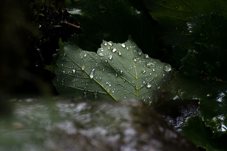 A fallen leaf covered in the morning rain caught in dappled sunlight Water Leaf Plant Part Drop Plant Wet Growth Close-up Nature No People Beauty In Nature Green Color Selective Focus Day Outdoors Rain Focus On Foreground Freshness Dew RainDrop Purity Leaves