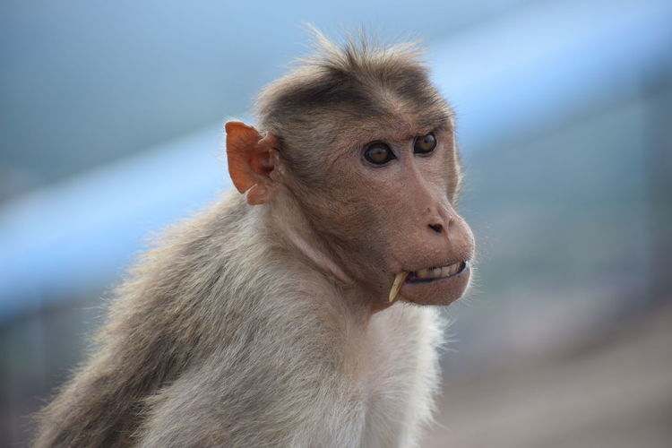 monkey... waitng for biscuits.... South India Nikon Nikond5300 Day Day Photography Banglorediaries Banglore Monkey Monkey Face Baboon Portrait Pets Close-up Animal Hair HEAD