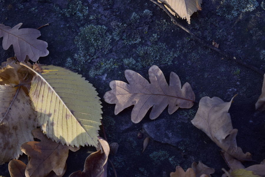 Autumn Beauty In Nature Change Close-up Day Fragility High Angle View Leaf Maple Maple Leaf Nature No People Outdoors