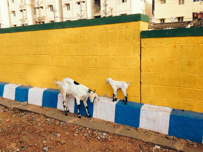 Goats by surrounding wall