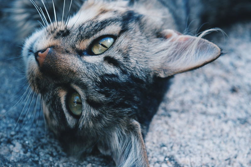 Close-Up Portrait Of Cat Lying On Road