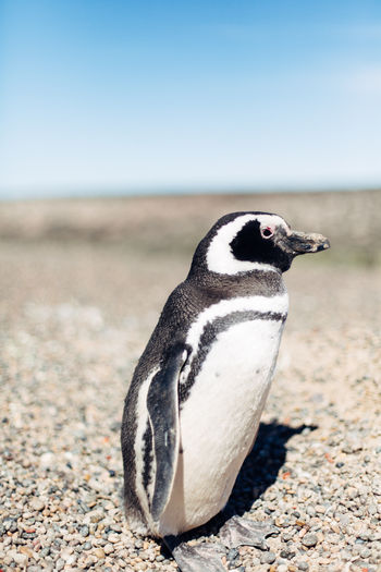 Close-Up Of Humboldt Penguin On Sand At Beach
