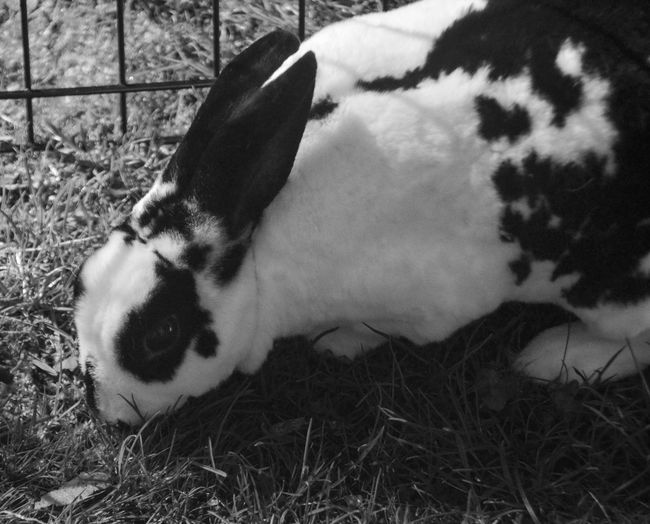 Animal Themes Black And White Rabbit Blackandwhite Photography Domestic Animals Mammal Nature No People One Animal Outdoors Pets Rabbit