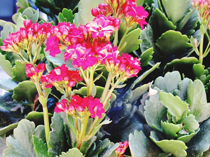 Flower Freshness Fragility Nature Beauty In Nature Growth Plant Leaf Petal Green Color Pink Color Flower Head Outdoors Day No People Blooming Close-up