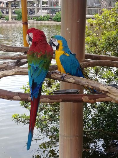 Macaw Bird Perching Tree Parrot Gold And Blue Macaw Multi Colored Blue Rainbow Lorikeet Close-up