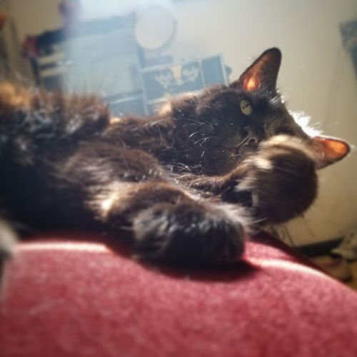 My Cat Snowball Pets Close-up Lounging Around Domestic Cat Feline Indoors  No People Day Domestic Animals