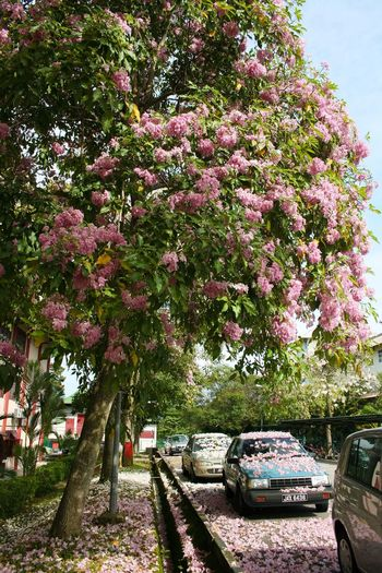 Growth Nature No People Tree Outdoors Day Beauty In Nature Car Flowers Flower Car Cherry Blossoms