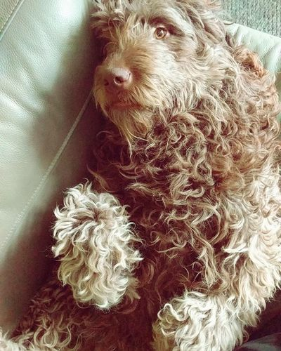 My baby Dog Pets Love Cute Newfydoodle Puppy Curls Dog Life