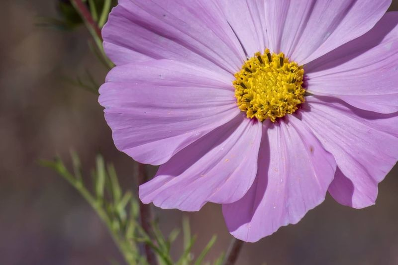 Pink Wildflower Flower Petal Fragility Nature Freshness Flower Head Beauty In Nature Growth Plant Yellow Pollen No People Day Blooming Close-up Purple Outdoors Cosmos Flower