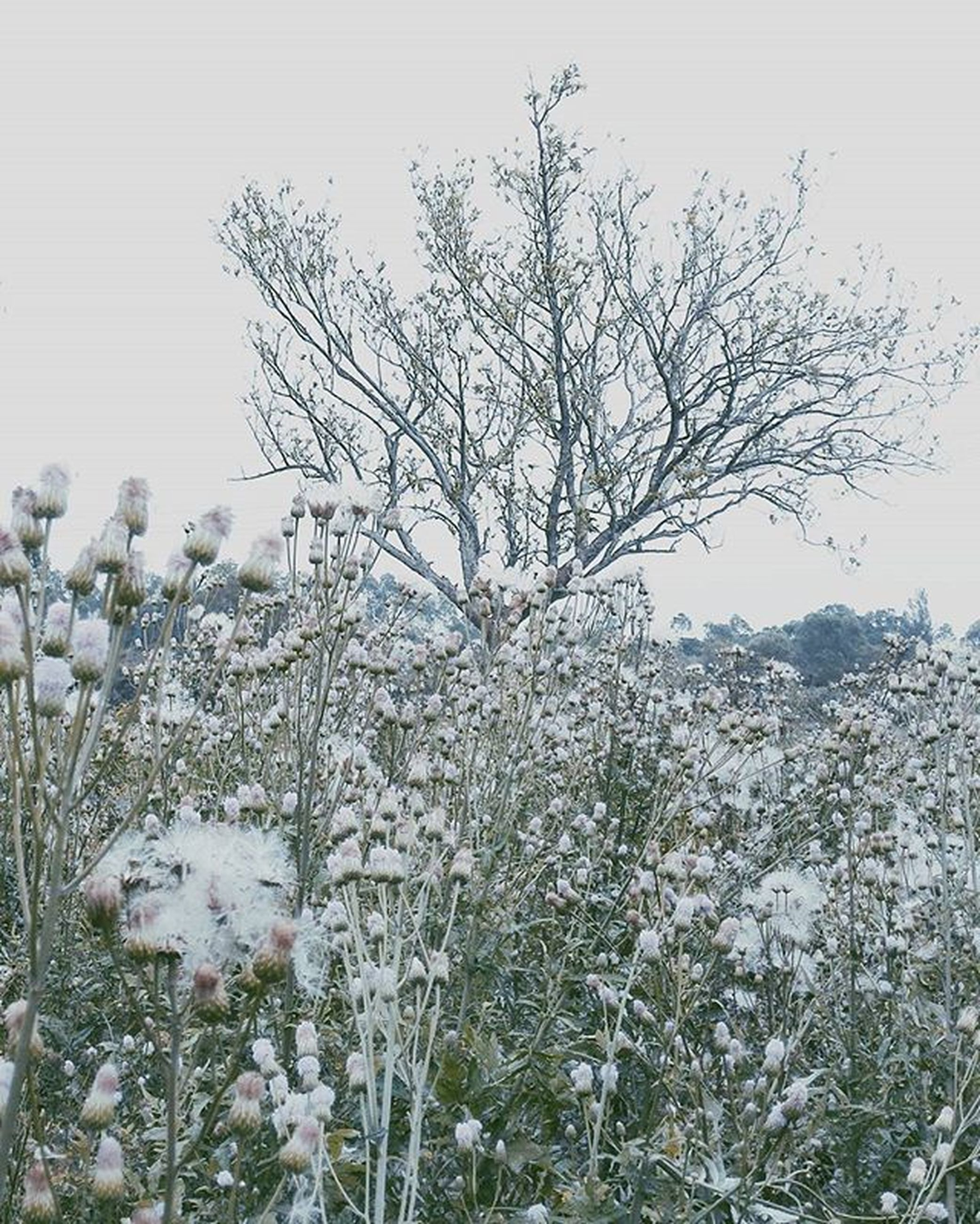 flower, clear sky, growth, nature, beauty in nature, tree, plant, branch, white color, tranquility, freshness, fragility, field, winter, tranquil scene, snow, season, cold temperature, stem, day