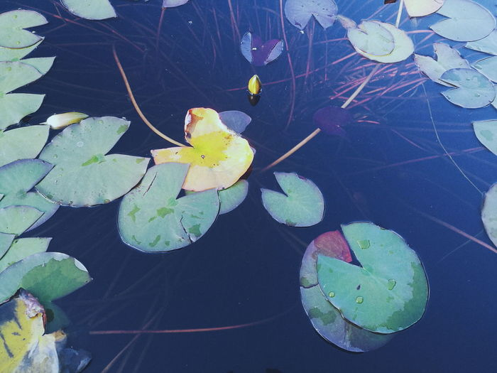 Leaf Nature Fragility Plant Close-up No People Beauty In Nature Growth Flower Yellow Outdoors Freshness Floating On Water Water Day