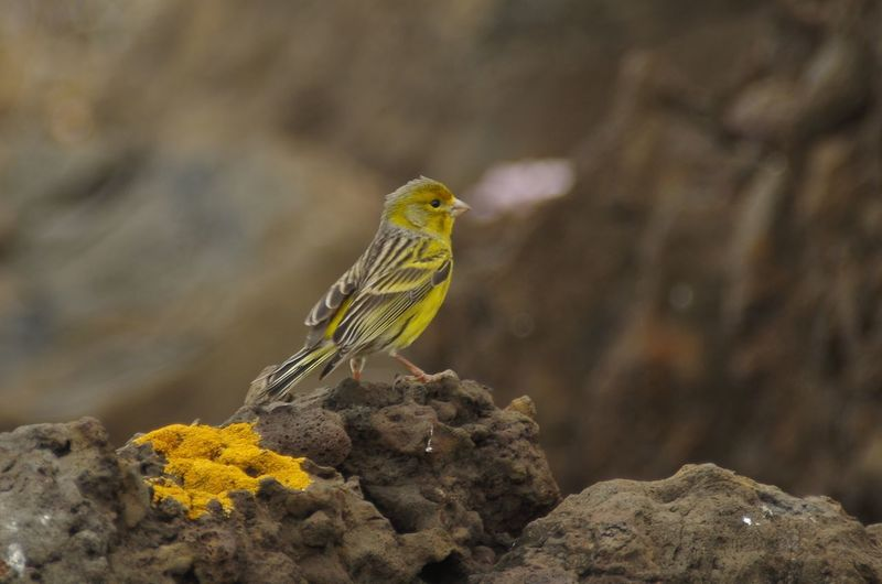 Atlantic canary, Tenerife, Canary Islands Animal Themes Animal Wildlife Animals In The Wild Atlantic Canary Bird Canary Islands Close-up Day No People One Animal Yellow
