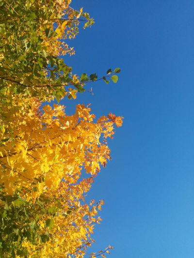 Goldpolishautumn Tree Clear Sky Blue Autumn Multi Colored Sky Close-up