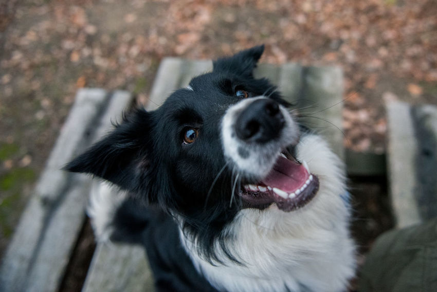 Border Collie Collie Dog Animal Themes Black Color Border Bordercollie  Close-up Collie Day Dog Domestic Animals Focus On Foreground Looking At Camera Mammal No People One Animal Outdoors Pets Portrait