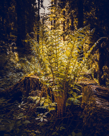 A solitairily standing farn in the woods of the bavarian alps, Kreuth, Bavaria, Germany, June 2019 Germany Hirschberg Tergernsee Fern Plant Tree Forest Land Growth Beauty In Nature Nature Tranquility No People Tree Trunk Trunk WoodLand Outdoors Day Scenics - Nature Yellow Tranquil Scene Non-urban Scene Sunlight Branch