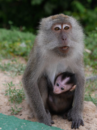 The mother monkey her baby in asia forest Animal Ape ASIA Baby Background Brown Creature Cute Face Family Fun Funny Fur Green Group Jungle Macaque Mammal Monkey Mother Nature Tree