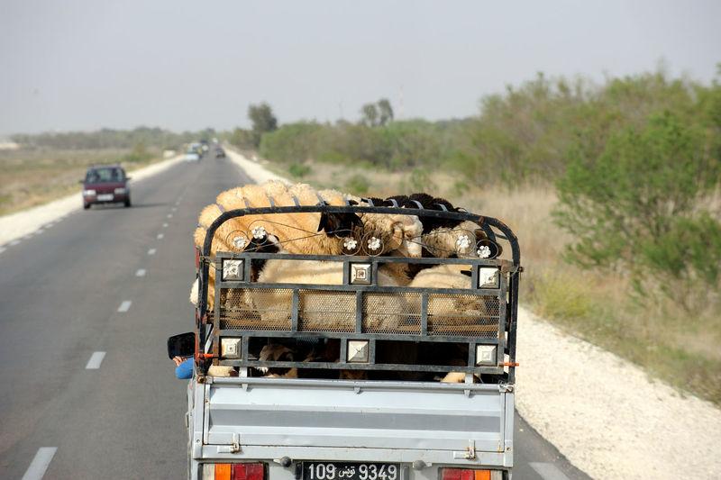 International Traffic Transportation Tunesië Weite Animal Themes Animals Car Day Fahrt Land Vehicle Mode Of Transport Mouton No People Outdoors Road Transportation Tree Tunesia Tunesien Verkehr