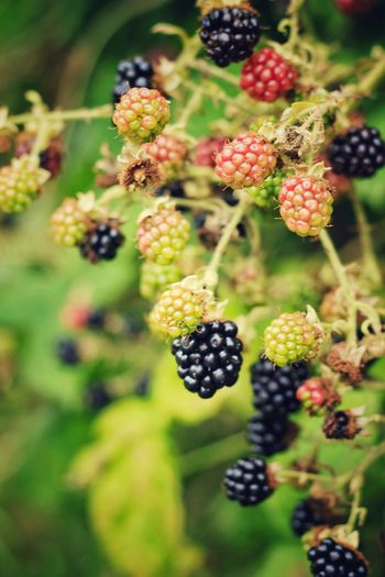 Blackberry Blackberry - Fruit Autumn 2016 Leeds, UK Blackberrypicking Berries Canon60d 50mm