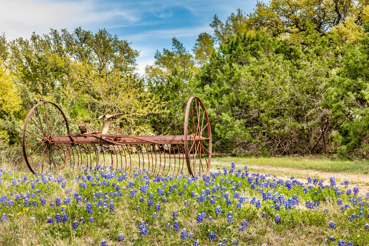 Texas hill country spring landscape with blue bonnets Texas Hill Country Hill Country Texas Springtime Spring Rural Scene Agriculture Blue Bonnets Blue Bonnet Flowers Plant Flower Flowering Plant Tree Beauty In Nature Growth Nature Day Tranquility No People Green Color Land Field Tranquil Scene Sky Grass Wood - Material Outdoors Transportation Landscape Wheel Flowerbed Purple Hey Tedder Rusty