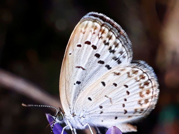butterfly EyeEm Selects Butterfly - Insect Insect Close-up Butterfly Animal Antenna Spread Wings Perching