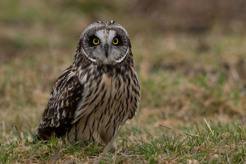 Short eared owl Short Eared Owl Animal Wildlife Animals In The Wild Bird Of Prey One Animal Bird Owl Vertebrate Portrait Looking At Camera No People Day Outdoors Plant Travel Destinations Grass Nature Animal Eye Focus On Foreground Yellow Eyes