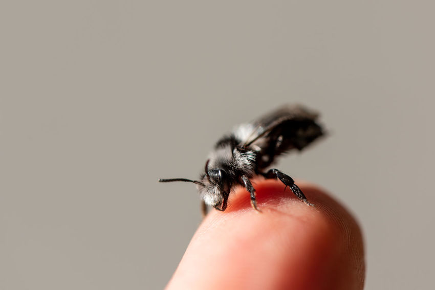 Gray mining bee... Human Hand Human Body Part Invertebrate Hand Insect Animal Wildlife One Animal Animals In The Wild One Person Finger Body Part Human Finger Close-up Real People Copy Space Bee Wild Bee Mining Bee Andrenidae Andrena Grooming Animal Portrait Looking At Camera Rescue Solitary Bee