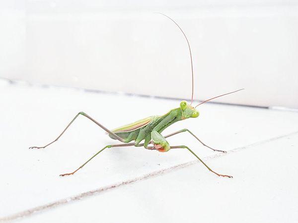 Preymantis Greenbug Green Bug Exotic Whitetiles Antenae Insect Wildlife Animal Antenna Praying Mantis Close-up Focus On Foreground Nature