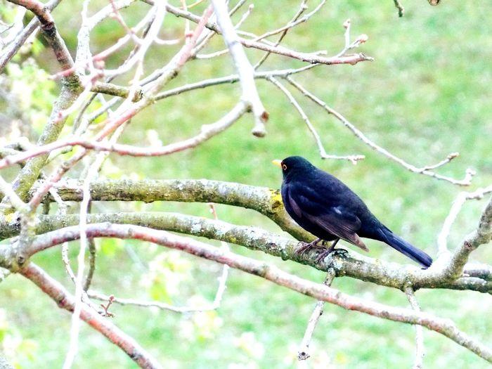Black bird Bird