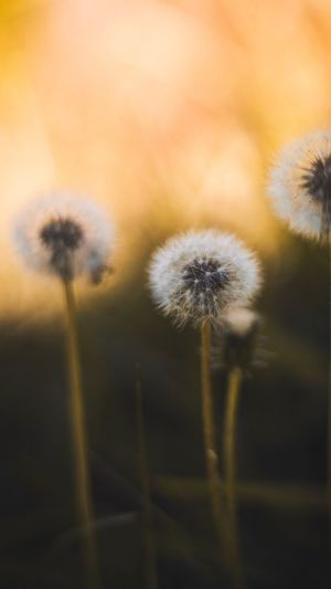 Close-Up Of Dandelions