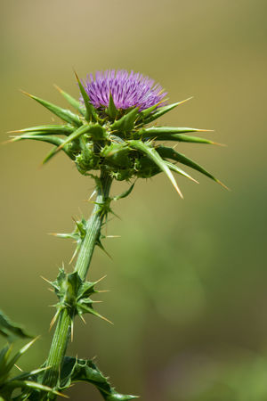 Plant Flower Flowering Plant Growth Nature Green Color Fragility No People Day Flower Head Plant Stem Beginnings Outdoors Purple Spiky Silybum Marianum Silybum Milk Thistle Thistle Cardus Marianus Blessed  Marian Thistle Mediterranean  Medicinal Plant Medicine
