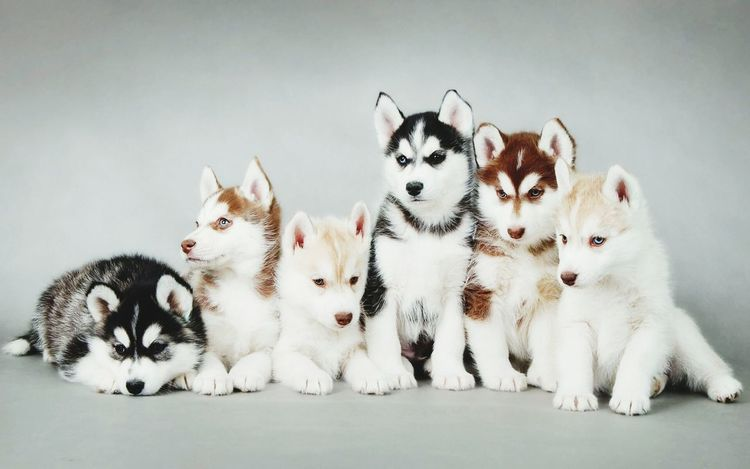 I want all of them Cute Pets Cuteness Given Love Perfection Dogs Husky Puppy