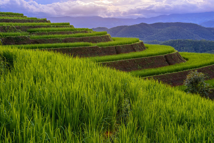 Chiang Mai | Thailand Chiangmai Agriculture Beauty In Nature Crop  Day Environment Farm Field Gardening Grass Green Color Growth Land Landscape Nature No People Outdoors Plant Plantation Rural Scene Scenics - Nature Sky Tranquil Scene Tranquility