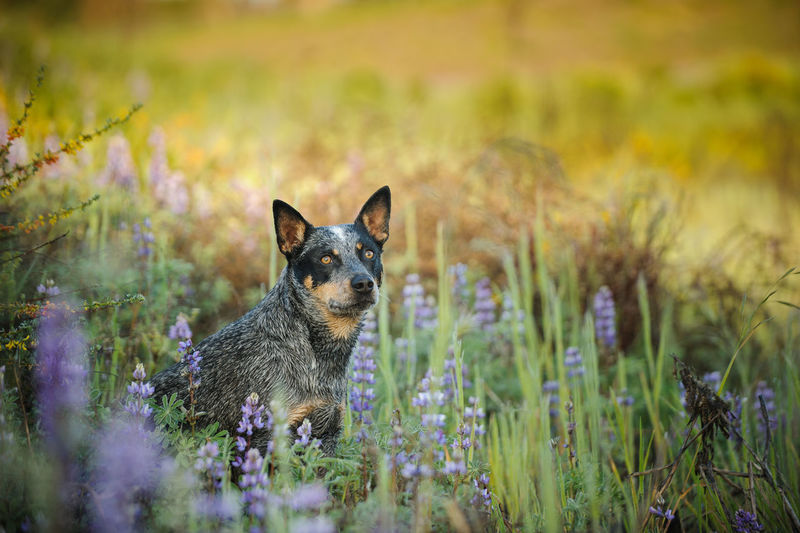 Australian Cattle Dog sitting in field with flowers One Animal Animal Animal Themes Plant Grass Domestic Animals Canine Dog Selective Focus Domestic Pets Nature Field No People Land Flowering Plant Day Looking Australian Cattle Dog Cattle Dog Blue Heeler