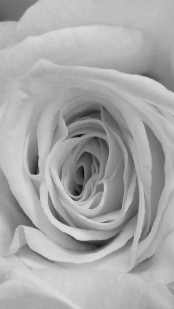 White Album Black & White Rosé Philadelphia Pennsylvania City Of Brotherly Love Flowerporn Perspective White Flower Intricate Nature Delicate Flowers My Quirky Style EyeEm Nature Lover Delicate Petals