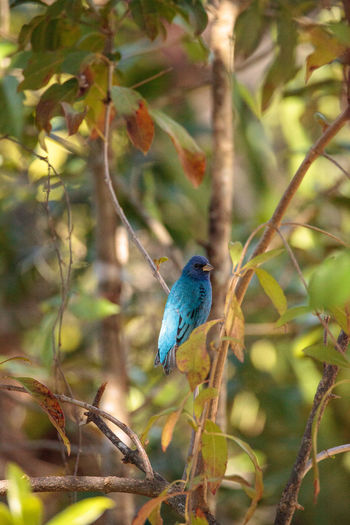 Indigo bunting Passerina cyanea bird forages for food in the bushes and from a bird feeder in Naples, Florida Blue Bird Corkscrew Swamp Sanctuary Indigo Bunting Nature Passerina Cyanea Songbird  Wild Animal Animal Avian Bird Blue Feather  Wildlife