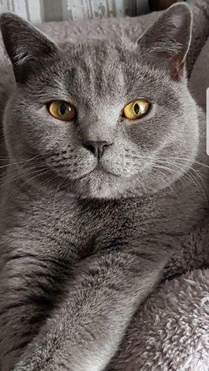 British Kurzhaar Cat Bkh Kater Animal